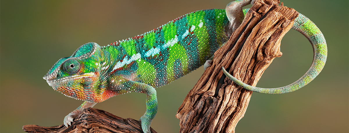 chameleon, pet chameleon, veiled chameleon, pet veiled chameleon, avian and exotic animal clinic, phoenix, arizona, gilbert, arizona exotic clinic, arizona exotic animal hospital, animal hospital, exotic vet, veterinarian, exotic veterinarian