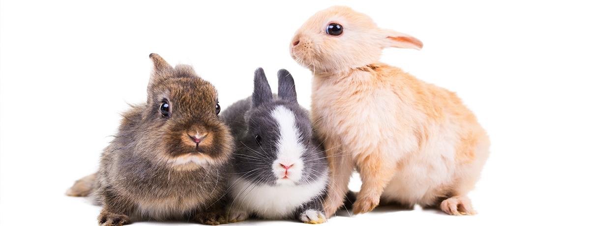 rabbit, pet rabbit, pet bunny, bunny, spay, neuter, affordable spay, affordable neuter, rabbit neuter, bunny neuter, lizard neuter, rat neuter, rat spay, avian and exotic animal clinic, phoenix, arizona, gilbert, arizona exotic clinic, arizona exotic animal hospital, animal hospital, exotic vet, veterinarian, exotic veterinarian
