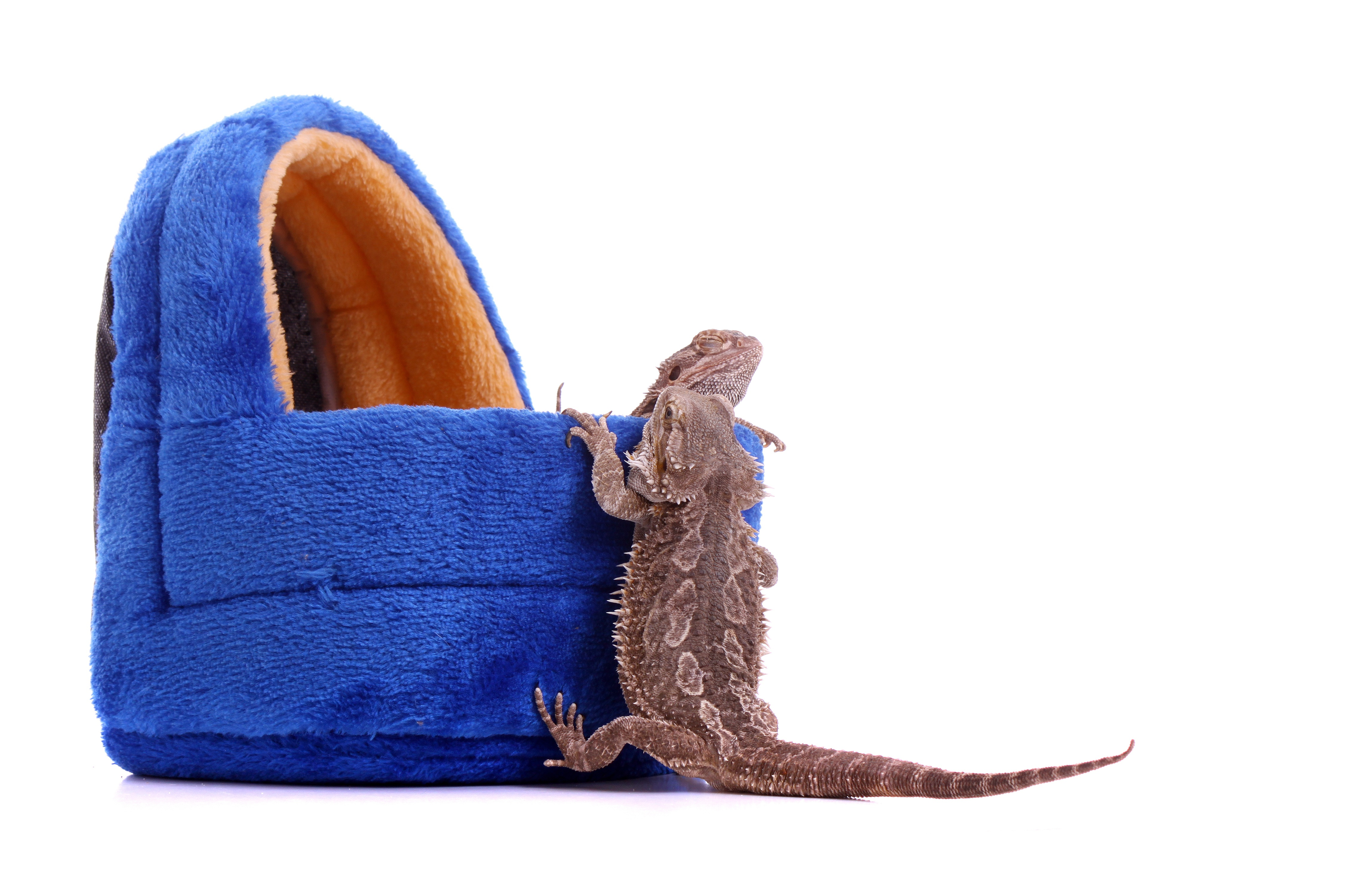 bearded dragon, pet beardie, pet reptile, exotic animals, exotic veterinarian, exotic vet, phoenix, arizona, avian and exotic animal clinic, exotic animal hospital, exotic animal clinic
