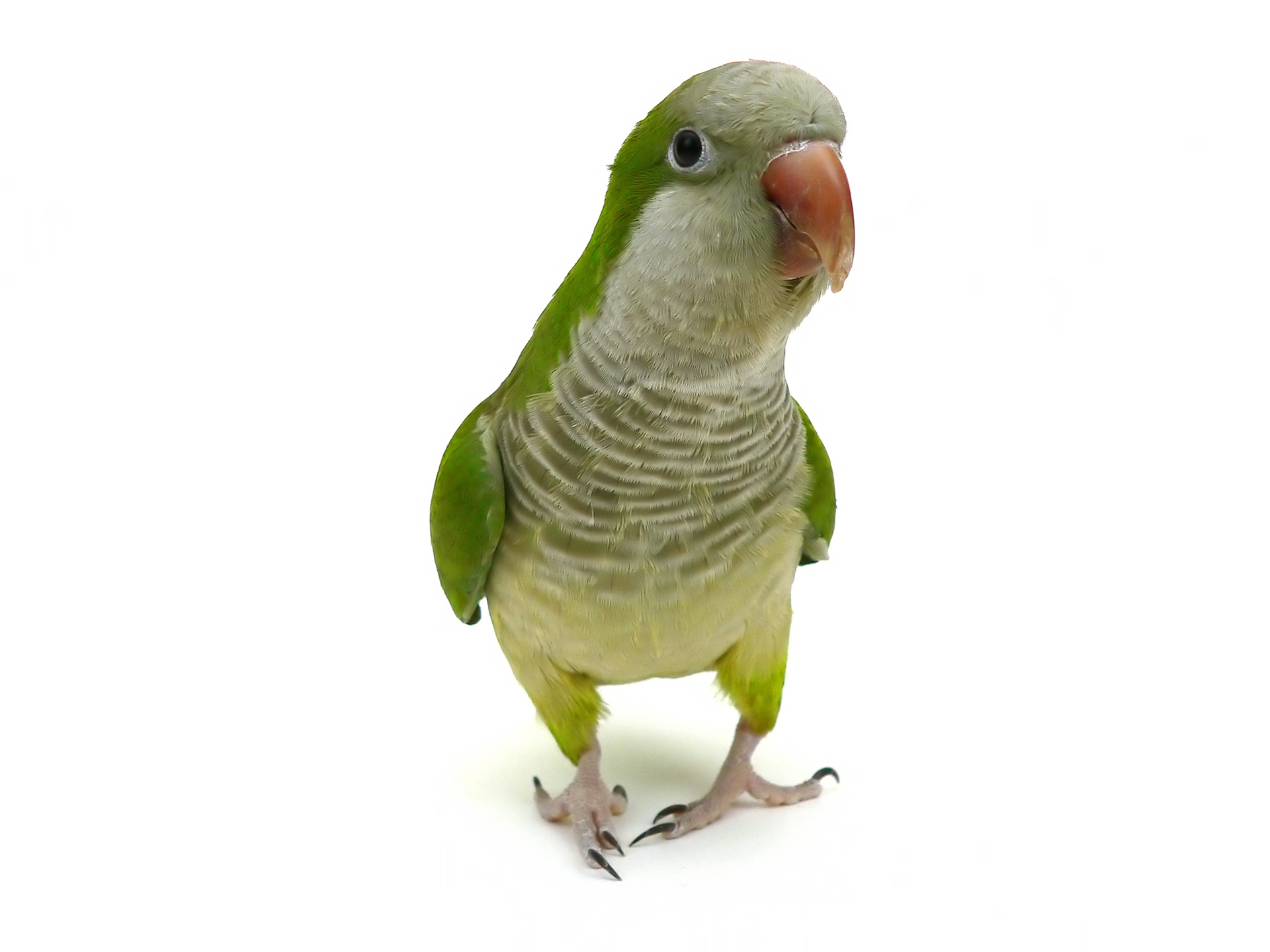 quaker parrot, pet parrot, pet bird, monk parakeet, monk parrot, exotic animals, exotic veterinarian, exotic vet, phoenix, arizona, avian and exotic animal clinic, exotic animal hospital, exotic animal clinic