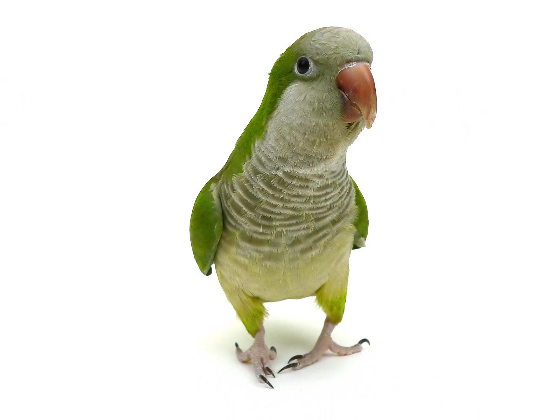 quaker parrot, pet parrot, pet bird, monk parakeet, monk parrot, exotic animals, exotic veterinarian, exotic vet, phoenix, arizona, avian and exotic animal clinic, exotic animal hospital, exotic animal clinic