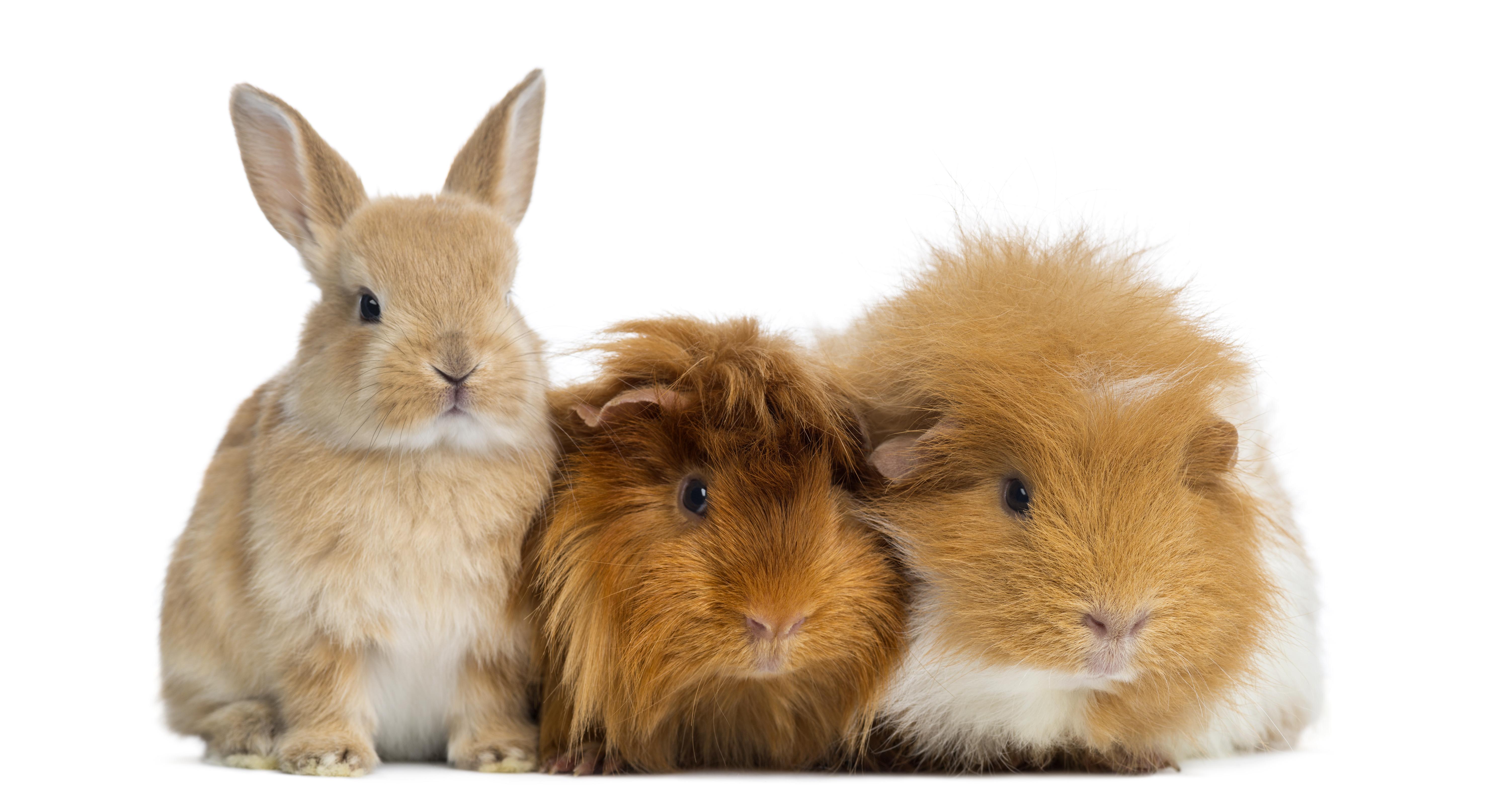 dwarf rabbit, pet rabbit, pet rabbits, pet mammals, pet guinea pig, guinea pig, lionhead guinea pig, exotic animals, exotic veterinarian, exotic vet, phoenix, arizona, avian and exotic animal clinic, exotic animal hospital, exotic animal clinic