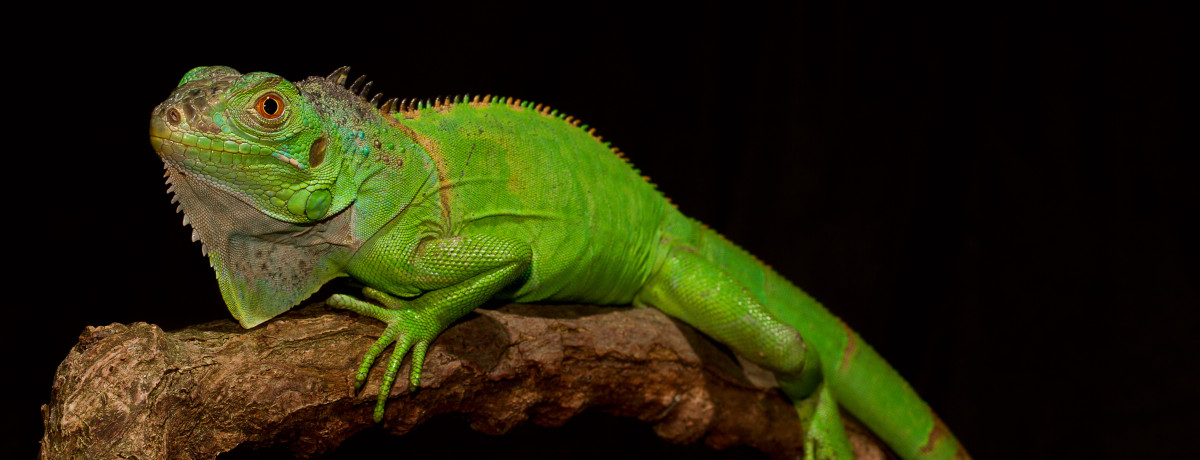 iguana, pet iguana, green iguana, blue iguana, pet green iguana, exotic animals, exotic veterinarian, exotic vet, phoenix, arizona, avian and exotic animal clinic, exotic animal hospital, exotic animal clinic