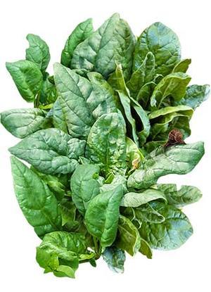 Giant Nobel Spinach Seeds (Spinacia oleracea) – Seed Needs LLC