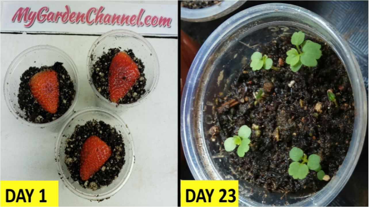 How To Grow Strawberry from Seed (1 One Memorable Tip)