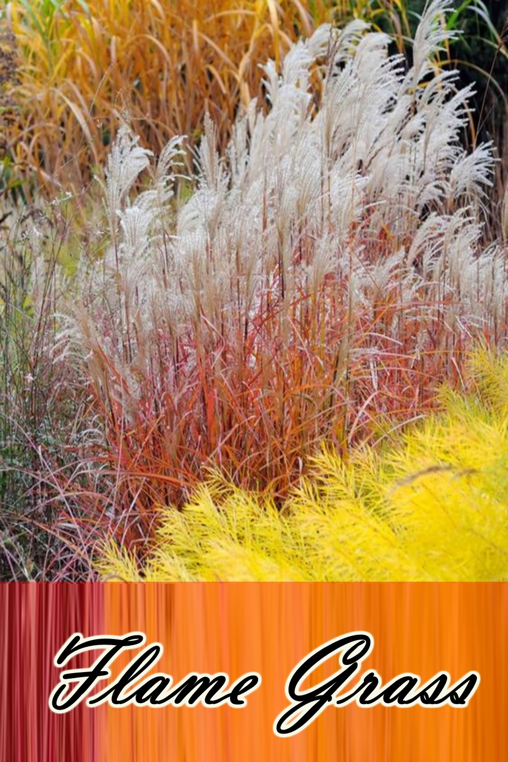 Autumn Flame Grass (New!) for 2021 a Must Have!!