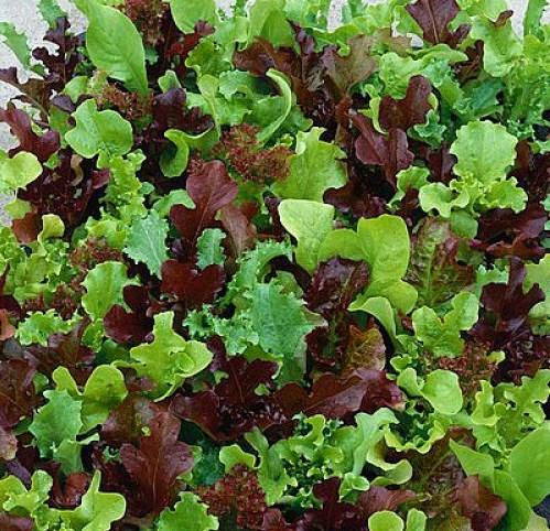 Lettuce, Mesclun Mix 1-packet - Permaculture Cubed