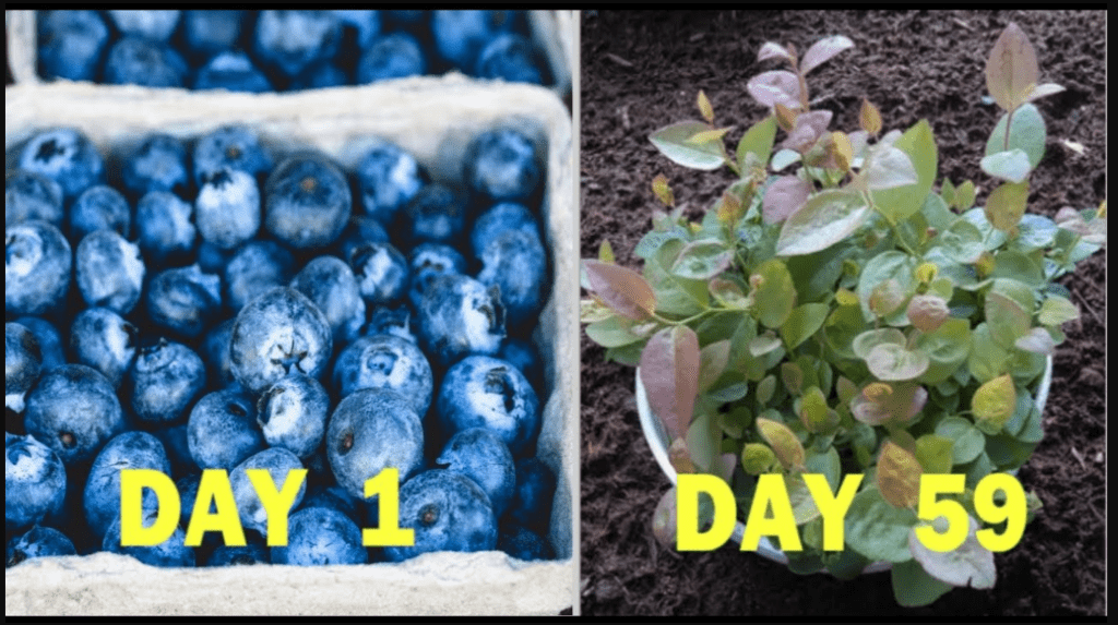 grow blueberries container