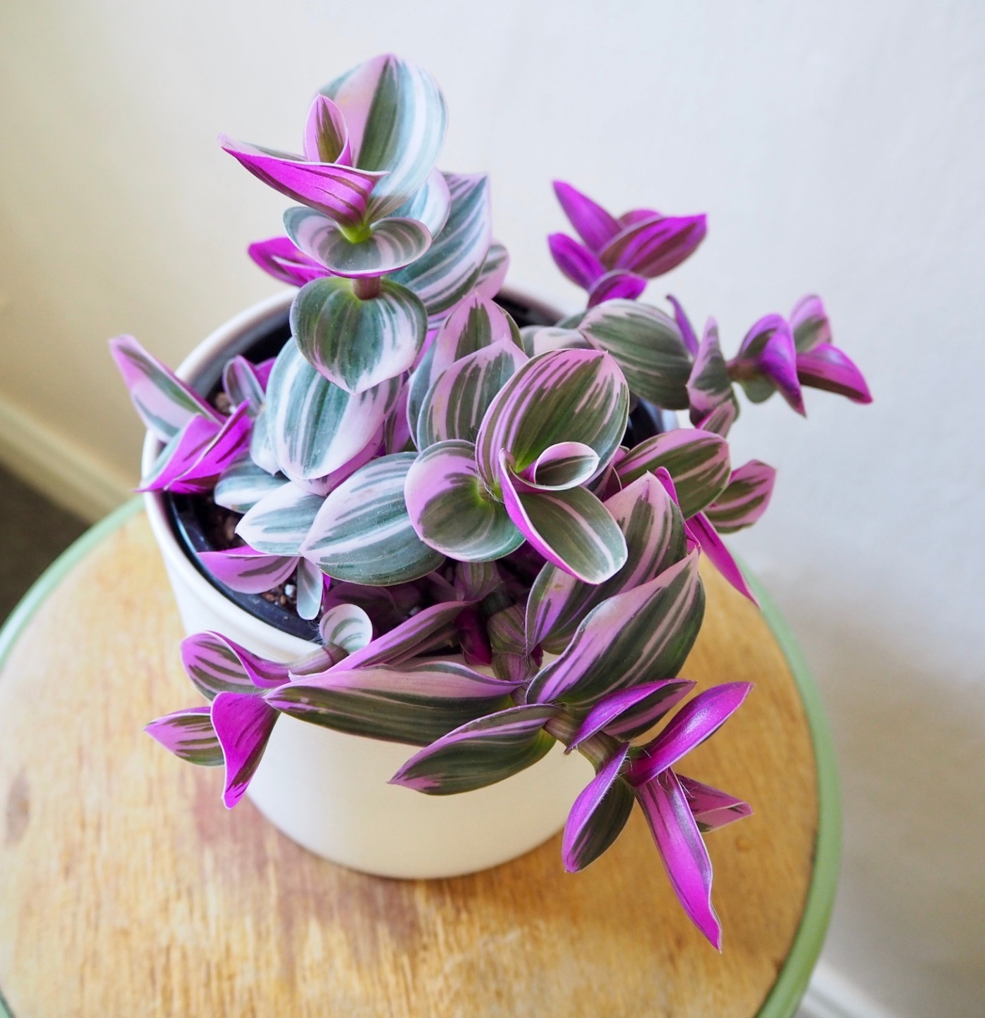 Tradescantia Pink Nanouk – Hottest Houseplant Right Now! (Trending)