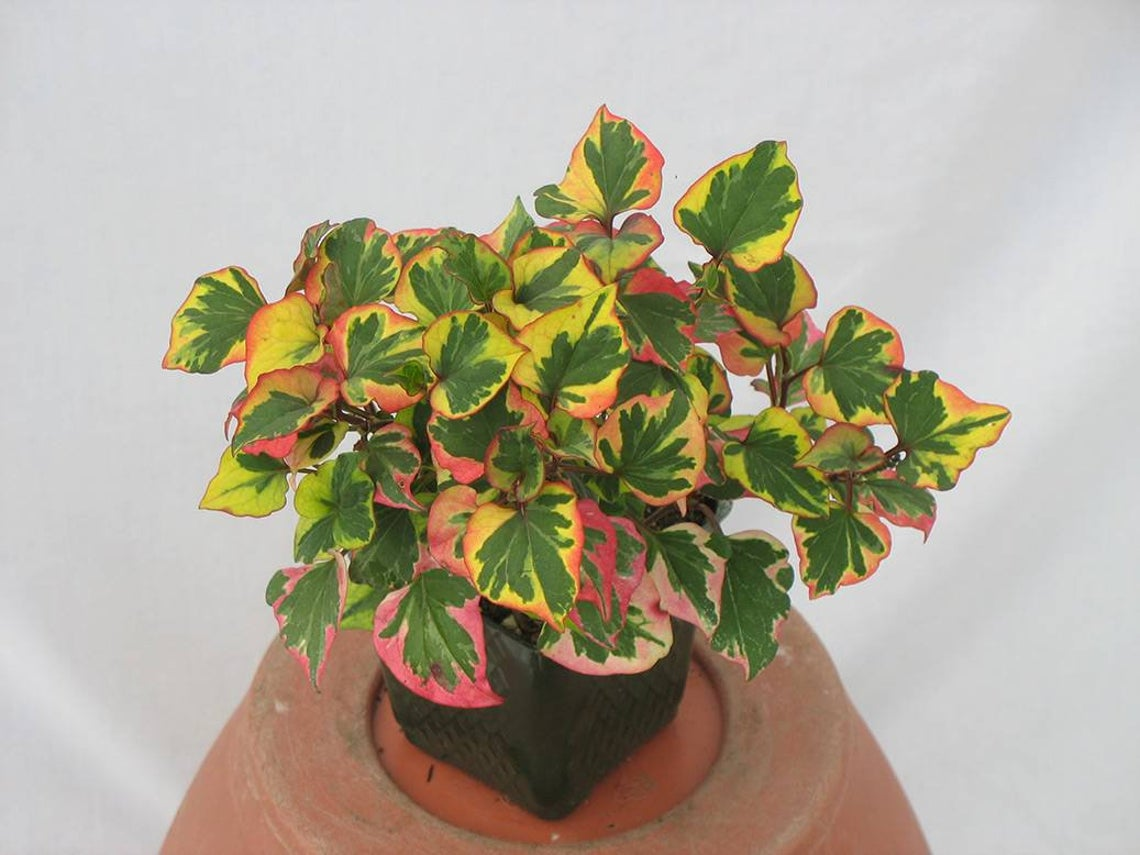 Chameleon Plant   Houseplant or Ground Cover?