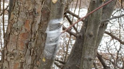 apple tree cutting wrapped and grafted