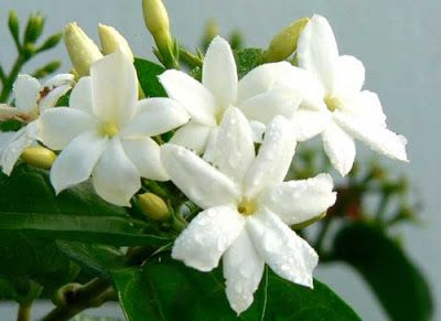 Jasmine Flower (Plant) Care