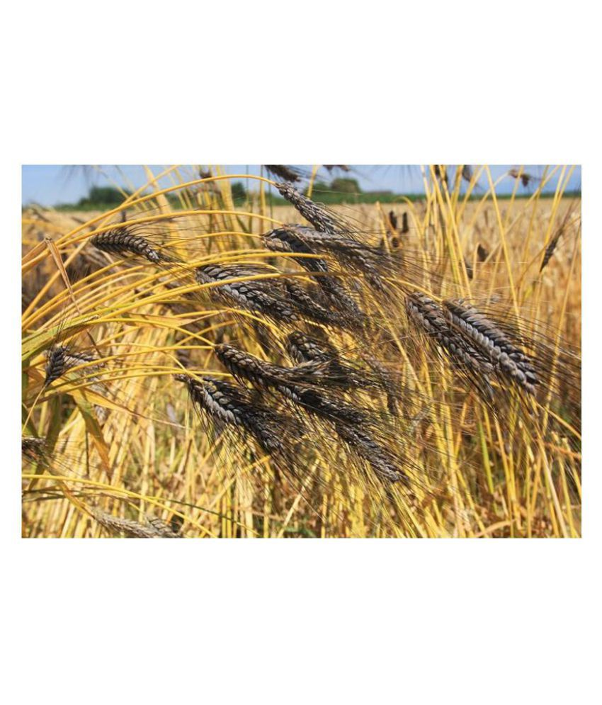 Black Knight Wheat (Ornamental)