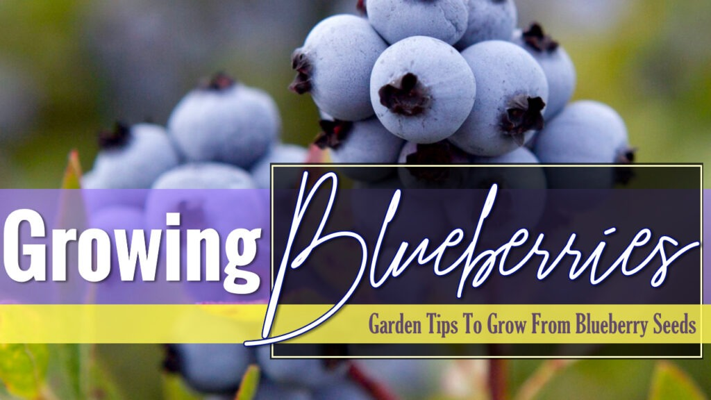 Growing blueberries from blueberries