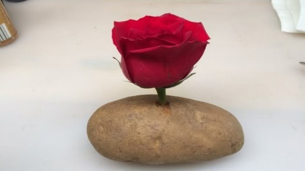 Growing A Rose In A Potato