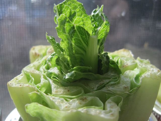 Romaine Lettuce How To Grow (from food scraps)
