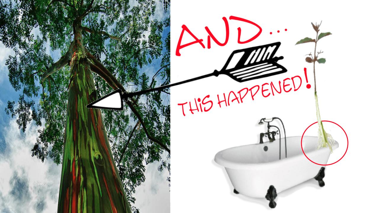Grow A Rainbow Eucalyptus Tree in The Tub!