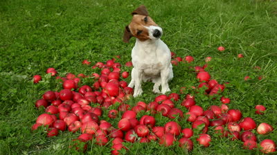 Can Dogs Eat Apples   Applesauce ?