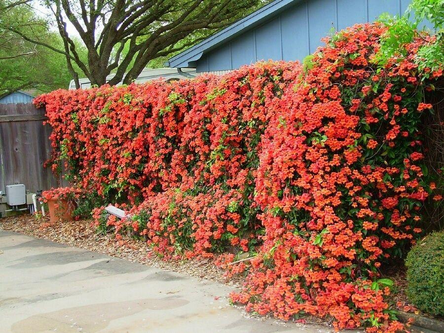 orange trumpet vine