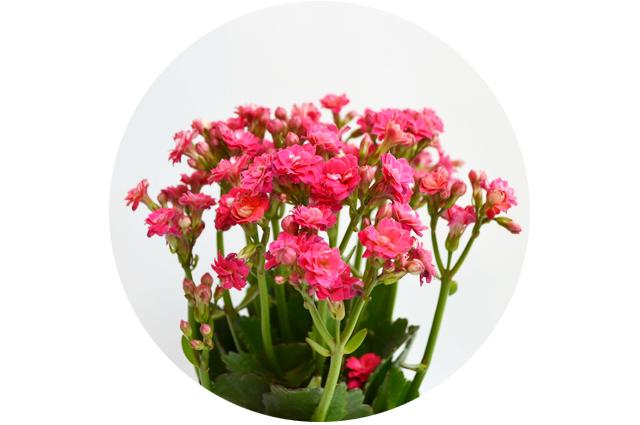 floriografia-calendiva-1