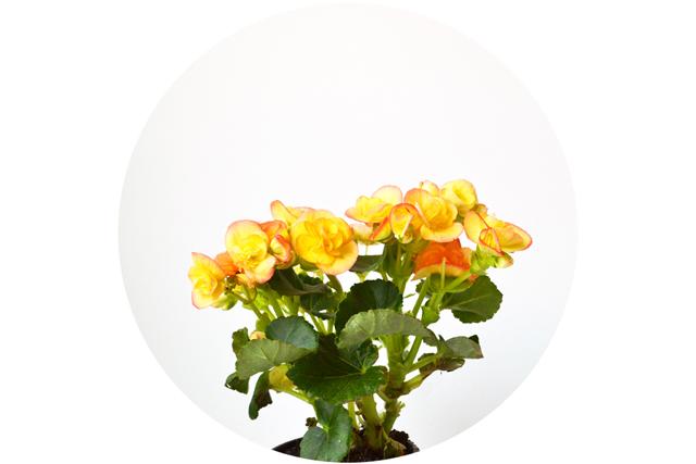 floriografia-begonia-1
