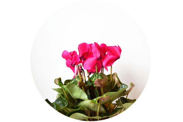floriografia-ciclamen-1