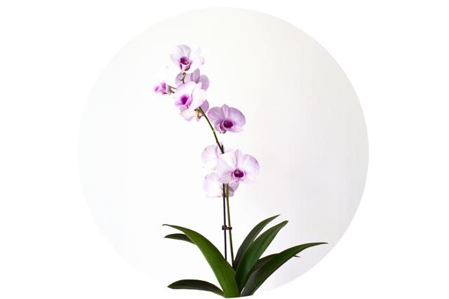 floriografia-orquidea-1