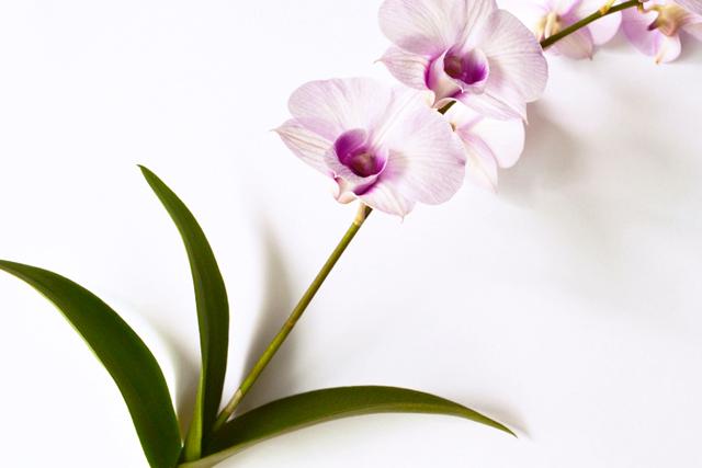 floriografia-orquidea-3