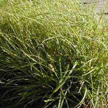 Carex Texensis Omahaplants Org