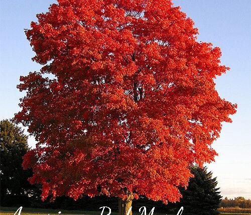 American Red Maple