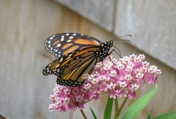 Monarchs Are Here