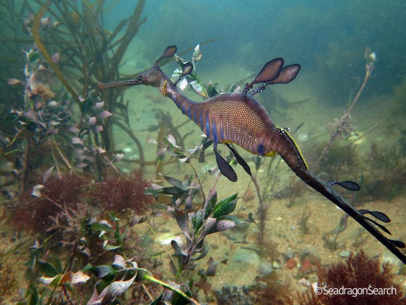 Common Seadragon