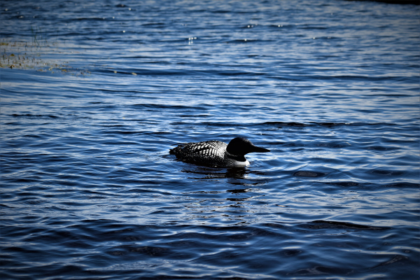 Resident duck at the FishInn