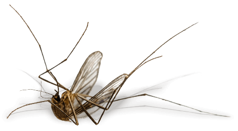 Dead-Mosquito-465x257-reduced