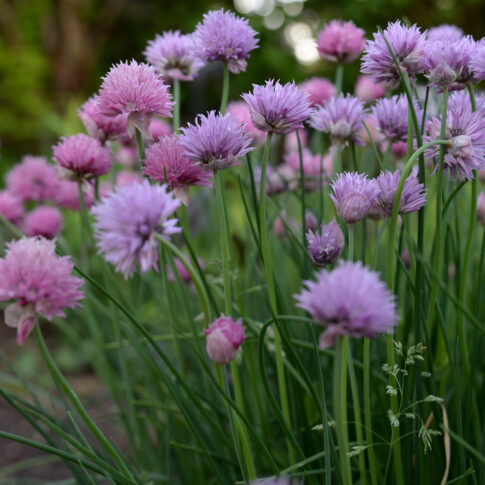 pink and purple chive flowers