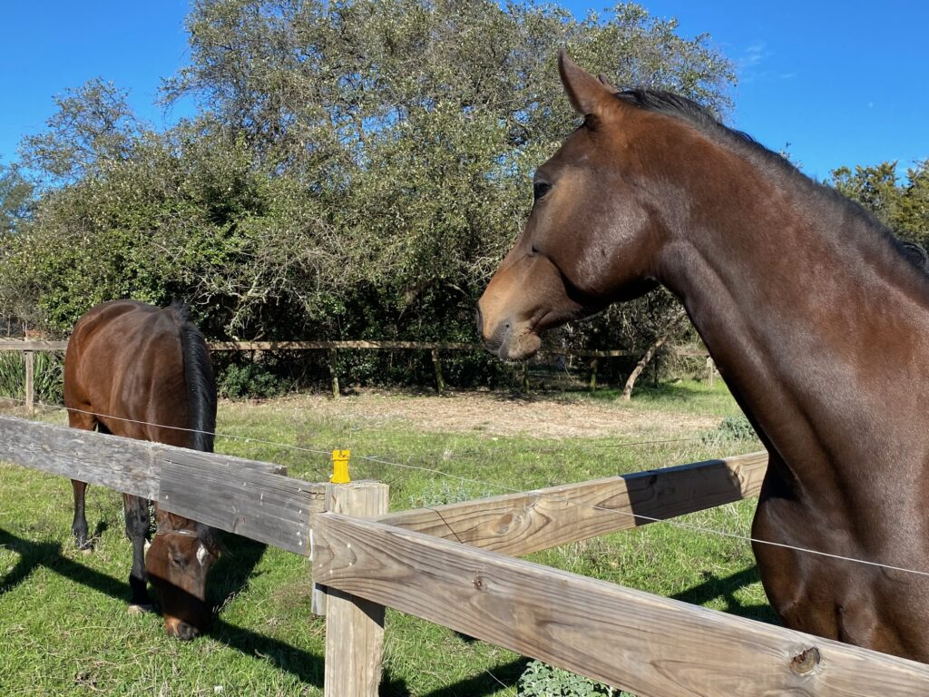 two brown horses in individual paddocks at bel canto farms