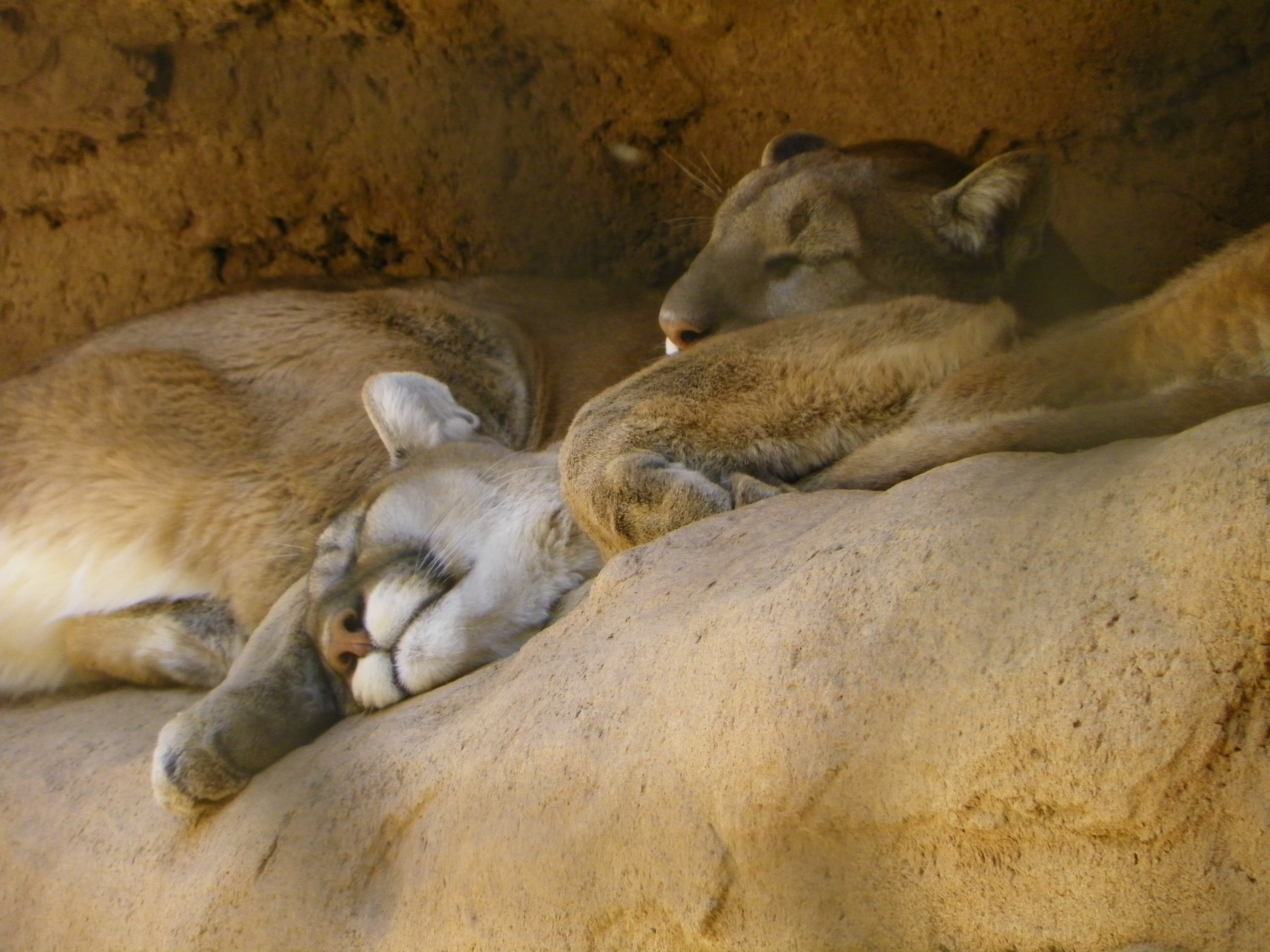 Mountain Lion Brothers