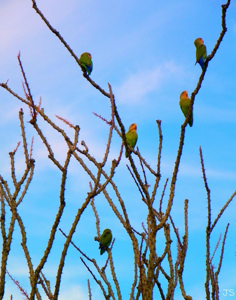 Peach Faced Love Birds by Janice Stenglein