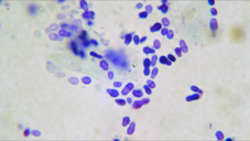 Yeast infections (purple oval and peanut shapes above) are common secondary to allergies and various other skin conditions.