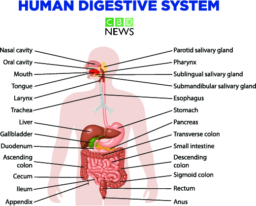 CBD oil for digestive issues