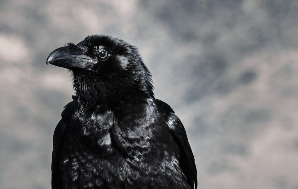 Coastal Crow