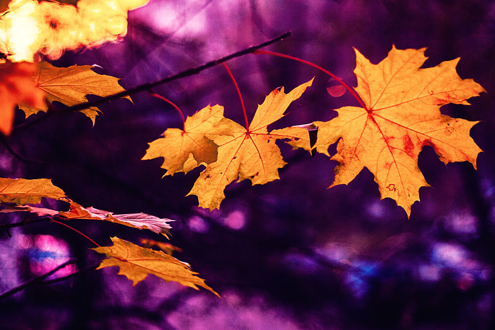Fall leaves over bright purple sunset