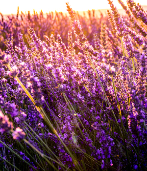 photo of lavender field