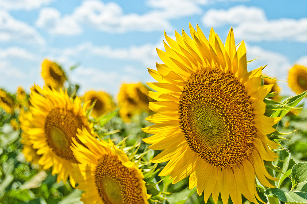 Photo of summer sky and sunflowers
