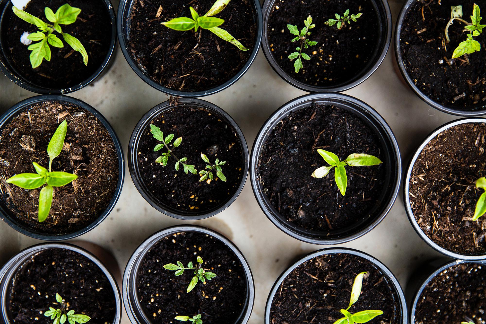 starter plants beginning to grow