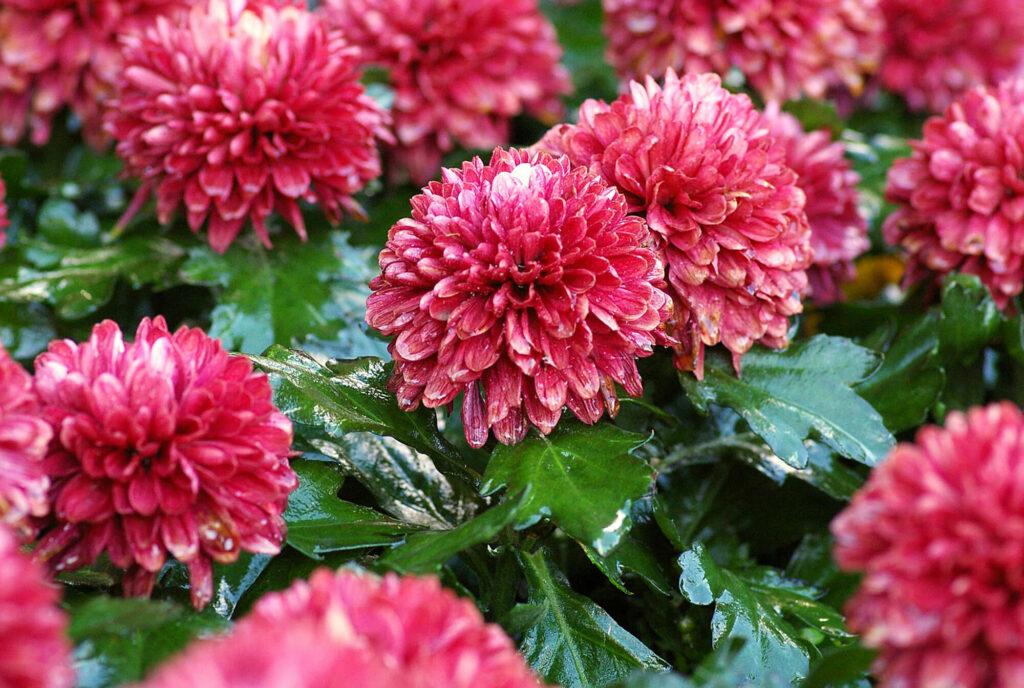 Red chrysanthemum flowers blooming
