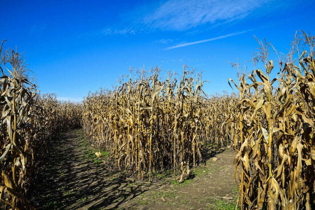 Corn maze with a diverging path