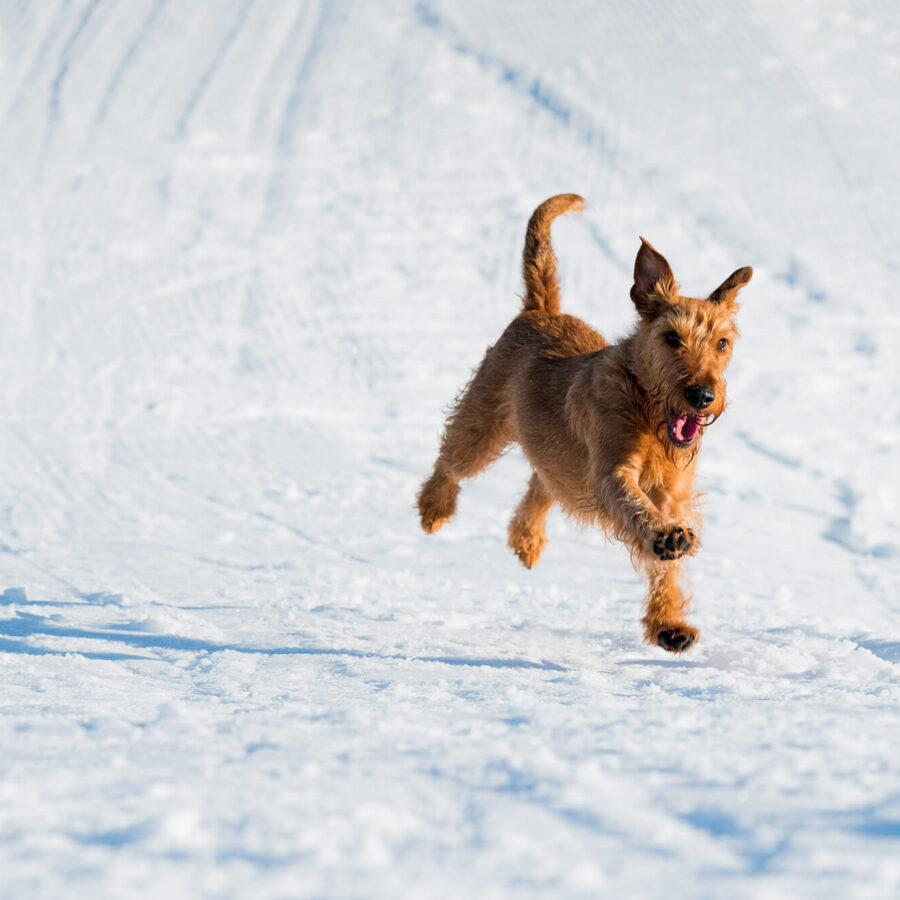 Welsh terrier puppy running through snow