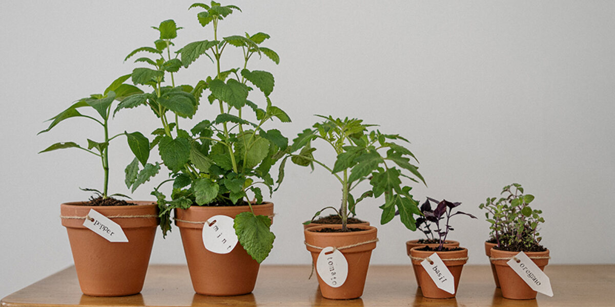 Herbs planted in terracotta plants