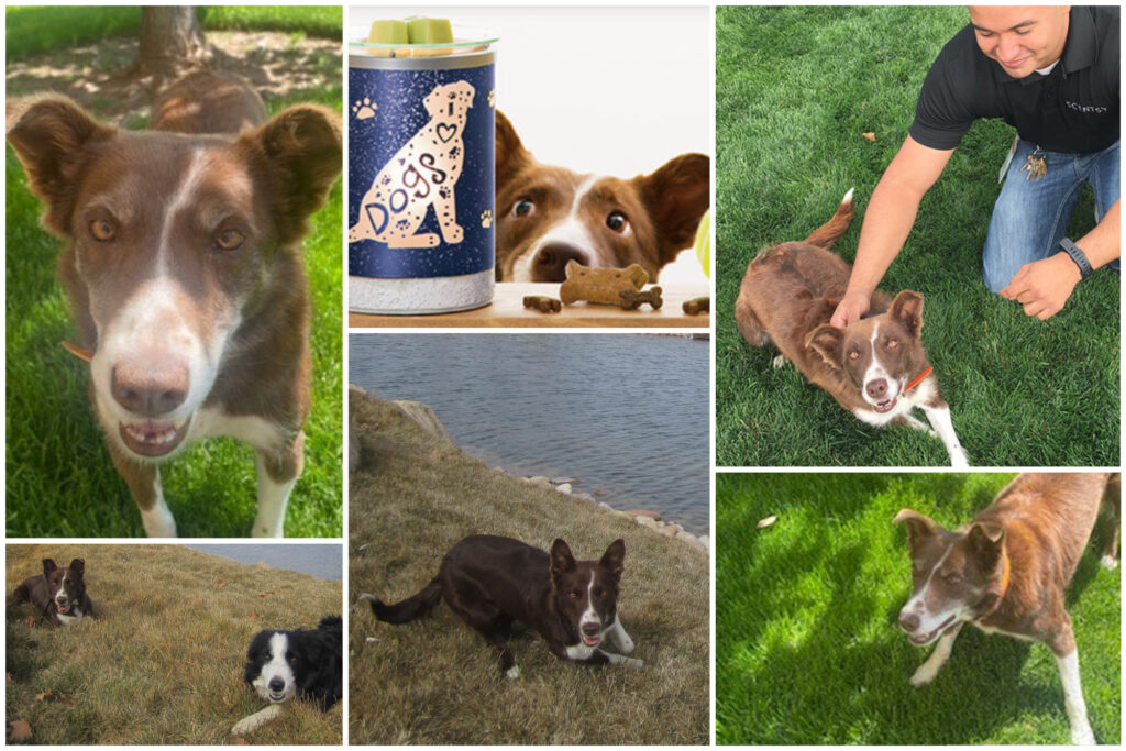 Scentsy's Chief Ball Chaser Izzy the dog photo collage